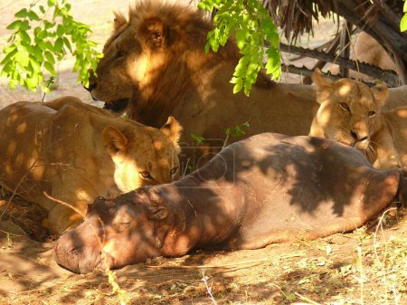 lions eating hippopotamus