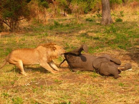 lion eating hippopotamus