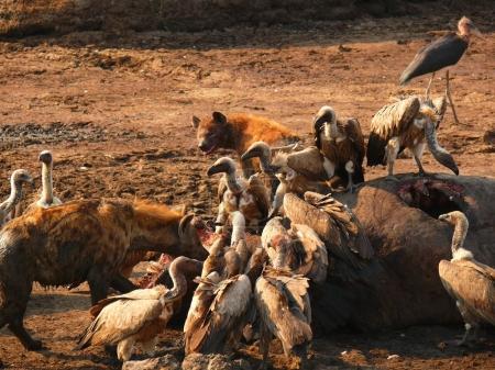 hyenas and vultures eating hippopotamus