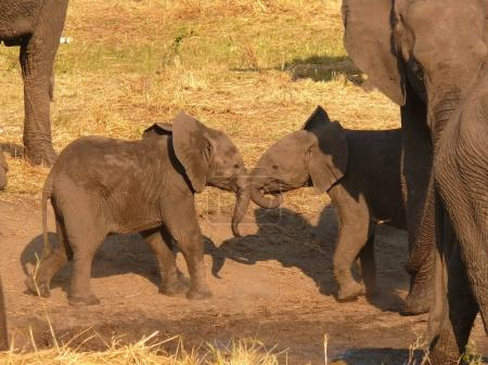 little elephants playing together