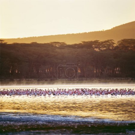 flamingos on water in wild nature