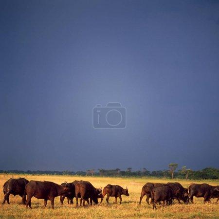 bisons under blue sky