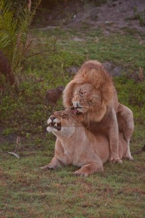 couple of lions laying in shadow