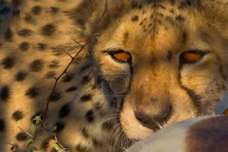 Leopard near dead antelope in daytime