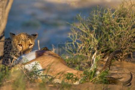 Leopard sitting near dead antelope in daytime