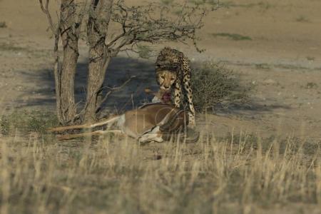 Leopard eating dead antelope near trees