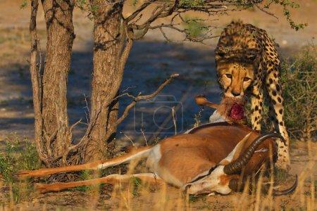 Leopard eating dead antelope in daytime