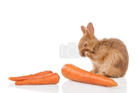 Red-haired rabbit washing next to carrots isolated...