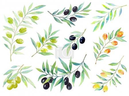 Photo pour Ensemble aquarelle de branches d'olivier, branches des baies décoratives et feuilles . - image libre de droit