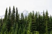 """Постер, картина, фотообои """"Pine Trees Cover the Front of Mount Rainier"""""""