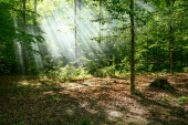 Shower of Sun Rays Falls Through Forest