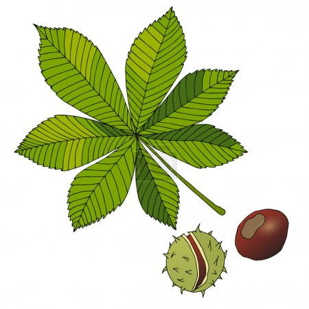 Aesculus. Buckeye. Horse chestnut. Chestnut. Medic...