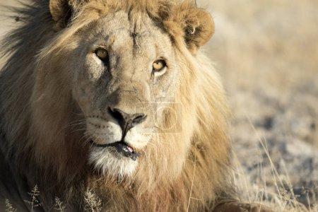 male adult lion