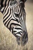 beautiful wild zebra
