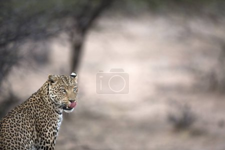 Wild hunting leopard
