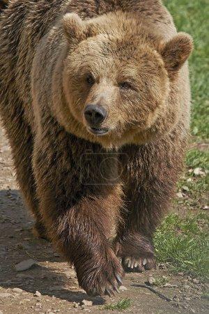 Photo pour Ours brun dans son habitat naturel en plein soleil - image libre de droit