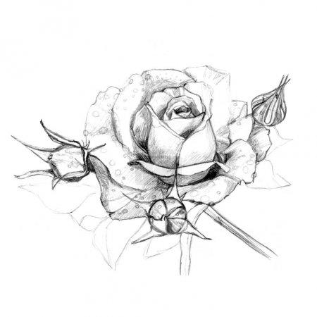 Photo pour Fleurs roses dessinées avec un crayon sur un fond blanc - image libre de droit