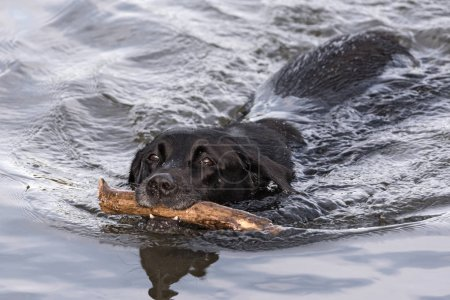 swimming black labrador retriever with big stick in the mouth