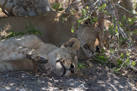 Two sleeping young lions at the roadside in Chobe National Park, Botswana