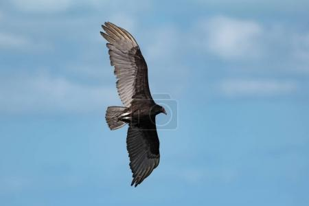 Turkey vulture (Cathartes aura) in flight over the Gulf of Mexico