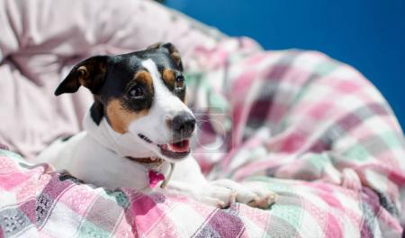 Photo pour Petit chien jack russell terrier se trouve dans un fauteuil, la lumière touche sélective focus - image libre de droit