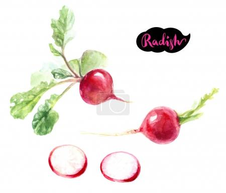 Photo for Radishes with hand drawn lettering, watercolor illustration - Royalty Free Image
