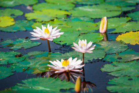 Lotus flowers on water surface