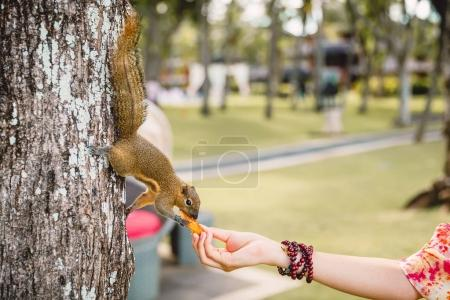 Woman feeds chipmunk on tree, wild animal in tropics