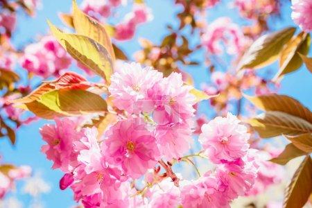Photo pour Arbre sakura en fleurs contre ciel bleu - image libre de droit