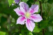 Blooming clematis in the summer garden