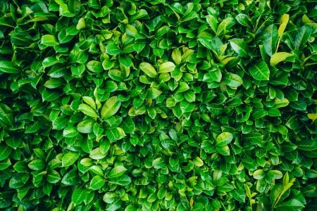 Photo for Green leaves background texture - Royalty Free Image
