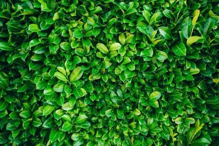 Photo pour Feuilles vertes texture de fond - image libre de droit