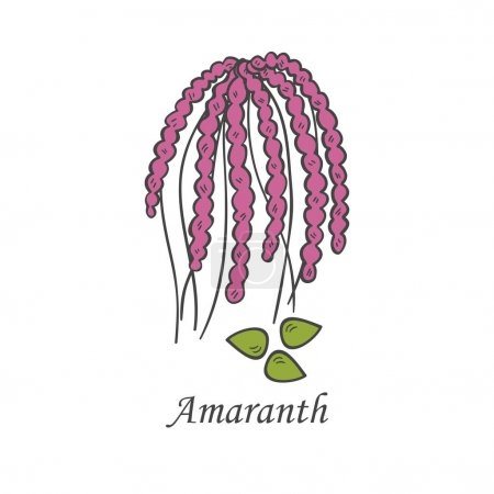 Illustration for Vector cartoon illustration with hand drawn amaranth seeds. Cartoon ripe ear for harvesting background. Healthy natural food grains. Agriculture vector isolated icon. Healthy lifestyle - Royalty Free Image