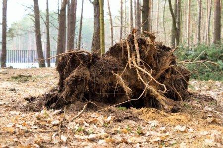 Photo pour Photo sur les racines d'arbres abattus par l'ouragan - image libre de droit