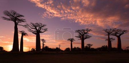 Photo pour Allée des Baobabs avec ciel dramatique près de Morondava, Madagascar - image libre de droit