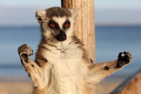 Sunbathing ring-tailed lemur
