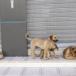A flock of stray dogs on the streets of Agadir....