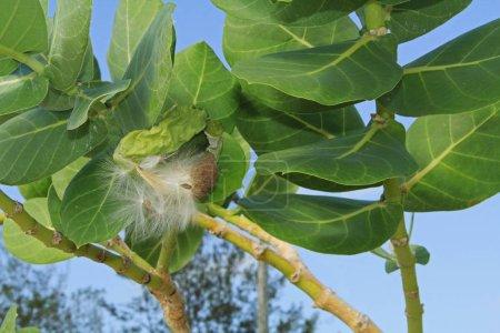 Fuzzy Seed Parachutes of a Giant Milkweed