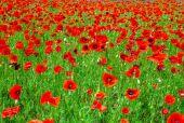 Field full of flowering poppies