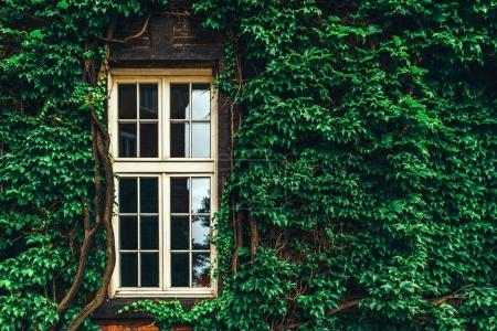 wall entwined with leaves and window