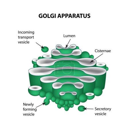 die Struktur des Golgi-Apparats. Infografiken. Vektor-Illustration auf isoliertem Hintergrund
