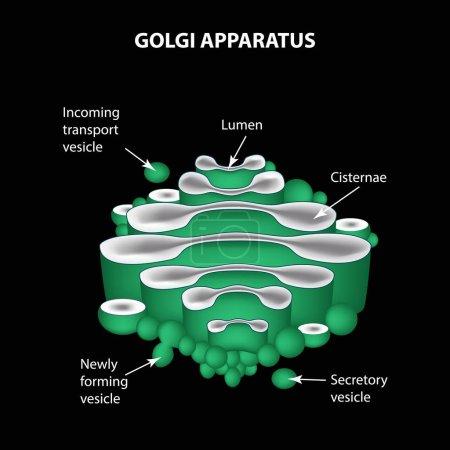 die Struktur des Golgi-Apparats. Infografiken. Vektorillustration