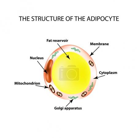The anatomical structure of the fat cells. Adipocy...