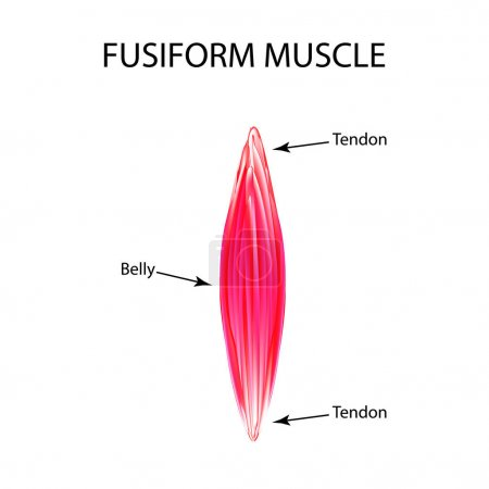 The structure of the muscle is fusiform. Infograph...