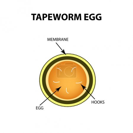 Tapeworm egg. Infographics. Vector illustration on isolated background.