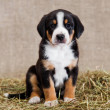 A black and red tan and white-breasted puppy of Sw...