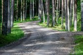 gravel road in birch tree forest