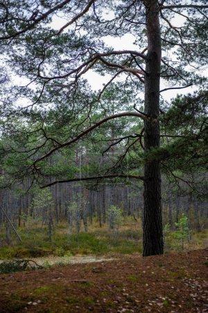 Photo pour Misty humide le matin dans les bois. forêt avec des troncs et des sentiers de randonnée de la pluie. grand vieil arbre au milieu - image libre de droit