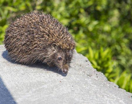 Young beautiful hedgehog