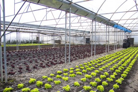 Photo pour Rangées de plantes vertes sur la ferme moderne pour la culture de laitue - image libre de droit